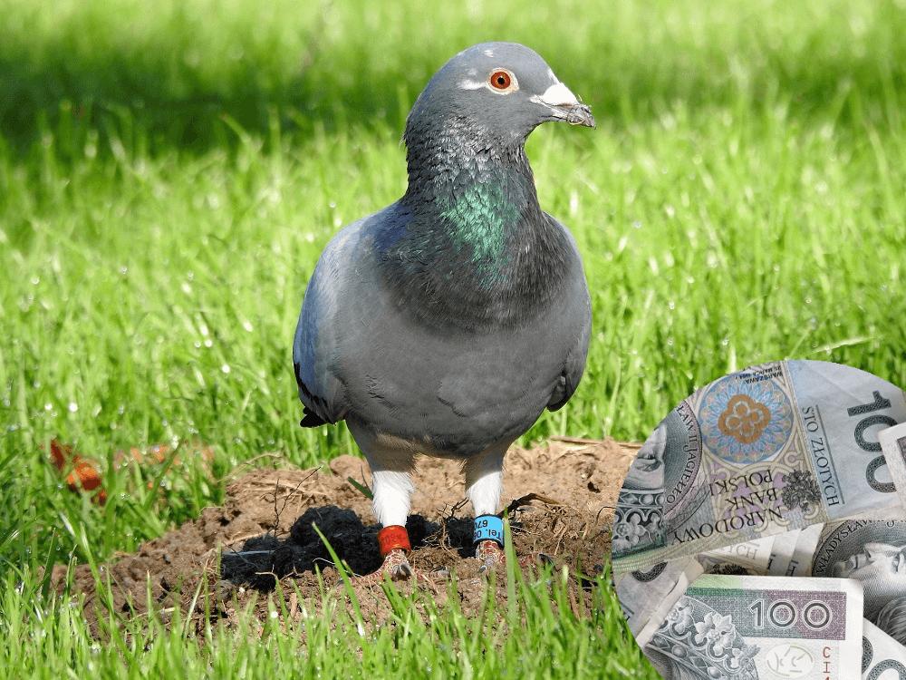 jak sprzedać gołębia